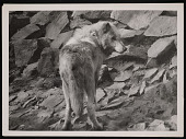view National Zoological Park, Timber Wolf digital asset number 1