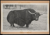 view National Zoological Park, Yak digital asset number 1