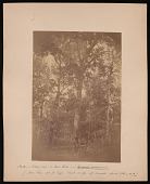 view Forest of Mississippi Valley (Record Photo), 1881 - No. 2 -- Mossy-cup, or Bur Oak digital asset number 1
