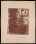 view Forest of Mississippi Valley (Record Photo), 1881 - No. 4. -- Bur Oak digital asset number 1