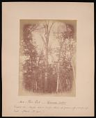 view Forest of Mississippi Valley (Record Photo), 1881 - No. 5 -- Red Oak digital asset number 1