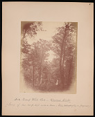 view Forest of Mississippi Valley (Record Photo), 1881 - No. 8 -- Swamp White Oak digital asset number 1