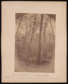 view Forest of Mississippi Valley (Record Photo), 1881 - No. 9 -- Swamp White Oak digital asset number 1