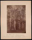 view Forest of Mississippi Valley (Record Photo), 1881 - No. 11 -- White Ash digital asset number 1