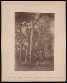 view Forest of Mississippi Valley (Record Photo), 1881 - No. 12 -- Trumpet Flower digital asset number 1