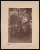 view Forest of Mississippi Valley (Record Photo), 1881 - No. 16 -- Honey Locust digital asset number 1