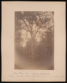view Forest of Mississippi Valley (Record Photo), 1881 - No. 17 -- Pecan Nut digital asset number 1