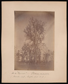 view Forest of Mississippi Valley (Record Photo), 1881 - No. 18 -- Sycamore digital asset number 1