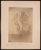 view Forest of Mississippi Valley (Record Photo), 1881 - No. 19 -- Sycamore digital asset number 1
