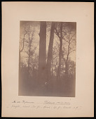 view Forest of Mississippi Valley (Record Photo), 1881 - No. 20 -- Sycamore digital asset number 1