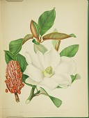 view Magnolia grandiflora from Plates prepared between the years 1849 and 1859, to accompany a report on the forest trees of North America digital asset number 1