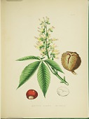view Aesculus glabra from Plates prepared between the years 1849 and 1859, to accompany a report on the forest trees of North America. digital asset number 1
