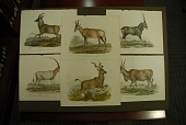 view Six chronological prints of African antelope digital asset: Six chronological prints of African antelope