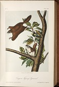 view Oregon Flying Squirrel from The quadrupeds of North America. digital asset number 1