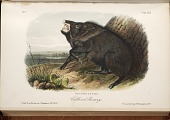 view Collared Peccary from The quadrupeds of North America. digital asset number 1