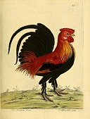 view The Bantam cock from A natural history of birds : illustrated with a hundred and one copper plates, curiously engraven from the life. digital asset number 1