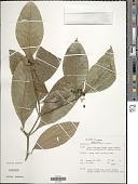 view Psychotria racemosa (Aubl.) Raeuschel digital asset number 1