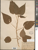 view Acalypha villosa Jacq. digital asset number 1