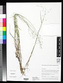 view Poa palustris L. digital asset number 1