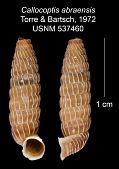 view Callocoptis abraensis digital asset number 1