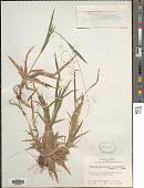 view Dichanthelium laxiflorum (Lam.) Gould digital asset number 1