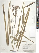 view Fuirena robusta Kunth digital asset number 1