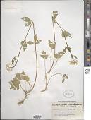 view Cardamine angulata Hook. digital asset number 1