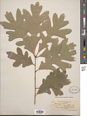 view Quercus alba L. digital asset number 1
