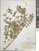 view Polemonium caeruleum L. digital asset number 1