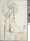 view Carex salina Wahlenb. digital asset number 1