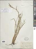 view Carex petitiana A. Rich. subsp. petitiana digital asset number 1