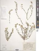 view Lesquerella gordonii (A. Gray) S. Watson digital asset number 1