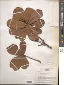 view Quercus obtusata Humb. & Bonpl. digital asset number 1
