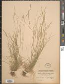 view Deschampsia elongata (Hook.) Munro digital asset number 1
