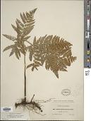 view Pteridium pubescens (Underw.) Christenh. digital asset number 1