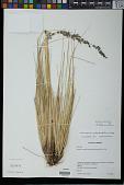 view Calamagrostis rigida (Kunth) Trin. ex Steud. digital asset number 1