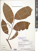 view Citronella melliodora (Sleumer) R.A. Howard digital asset number 1