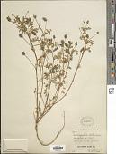 view Astragalus didymocarpus Hook. & Arn. digital asset number 1