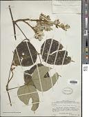 view Rhynchosia hirta (Andrews) Meikle & Verdc. digital asset number 1