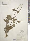 view Achyranthes aspera L. digital asset number 1