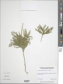 view Lycopodium obscurum L. digital asset number 1