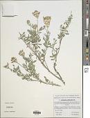 view Astragalus albicaulis DC. digital asset number 1