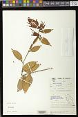 view Aeschynanthus longifolius digital asset number 1