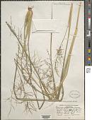 view Coleataenia rigidula (Bosc ex Nees) LeBlond digital asset number 1