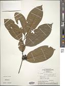 view Diospyros artanthifolia Mart. ex Miq. digital asset number 1