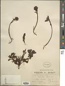 view Pedicularis elwesii Hook. f. digital asset number 1