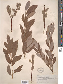 view Salix discolor Muhl. digital asset number 1