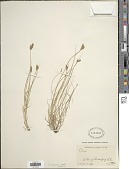 view Carex scoparia Schkuhr ex Willd. digital asset number 1
