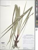 view Bisboeckelera longifolia (Rudge) Kuntze digital asset number 1