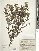 view Chromolaena squalida (DC.) R.M. King & H. Rob. digital asset number 1